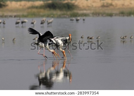 Storks fishing in the lake - stock photo