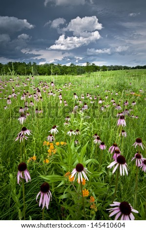 Storm clouds over a mass of prairie coneflowers on Schulenberg Prairie at The Morton Arboretum, Lisle, Illinois. - stock photo
