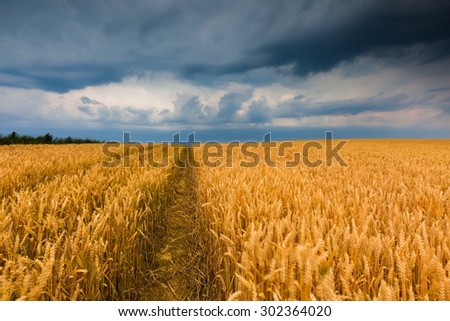 Storm clouds over wheat field. Danger weather with dark sky over fields - stock photo