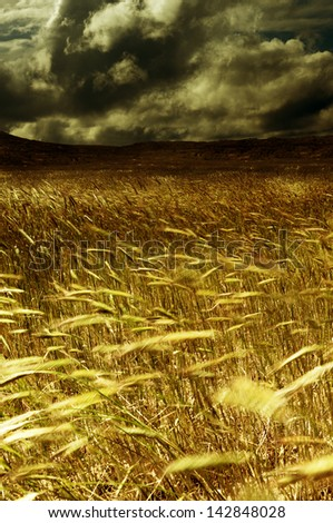 Storm in the harvest field. Wheat field moved through the air - stock photo