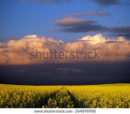 Stormy rapeseed flower field - stock photo