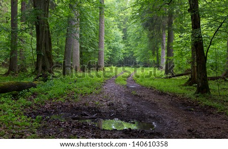 Straight ground road leading across misty late spring deciduous stand with old trees by - stock photo