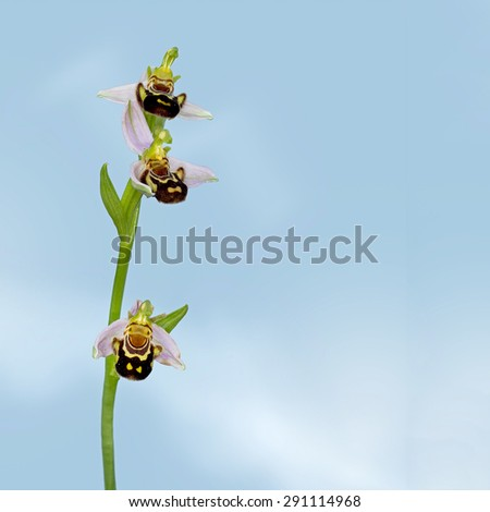 Strange mimicry of the wild Bee Orchid. Ophrys apifera. - stock photo
