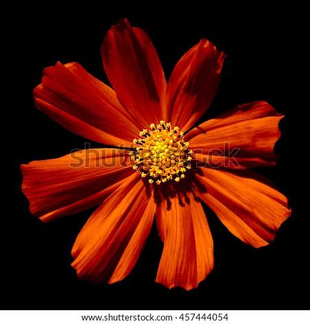 Strange orange surreal flower Primula macro isolated on black - stock photo
