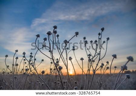 Strange stalks of frozen grass against sunrise - stock photo