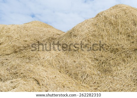Straw after harvest in Thailand. - stock photo