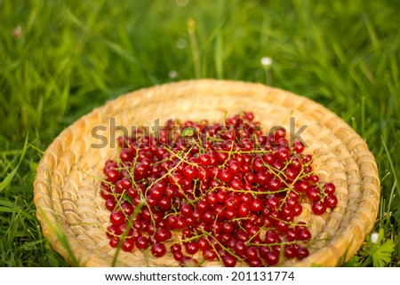 Straw scuttle full of fresh organic red currants crop