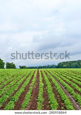 Strawberries field during raining