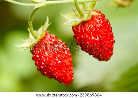 Strawberries. Growing Organic Berries Closeup. Ripe Strawberry In The Fruit Garden - stock photo
