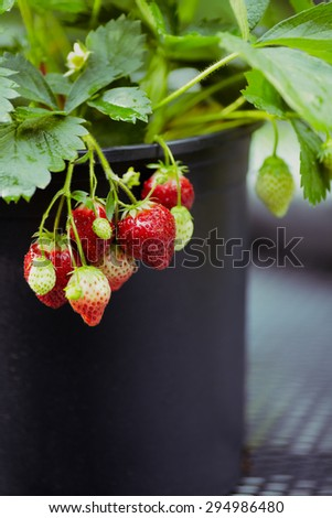 Strawberries growing outdoors in a pot.