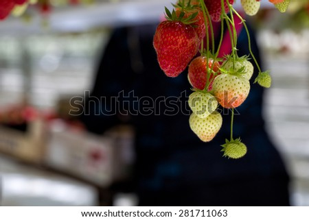 Strawberries hanging in a greenhouse in Breda, Netherlands, while people are picking, harvesting them, people out of focus and room for copyspace