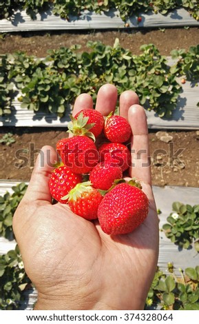 Strawberries held in the hand in the strawberry farm in India - stock photo