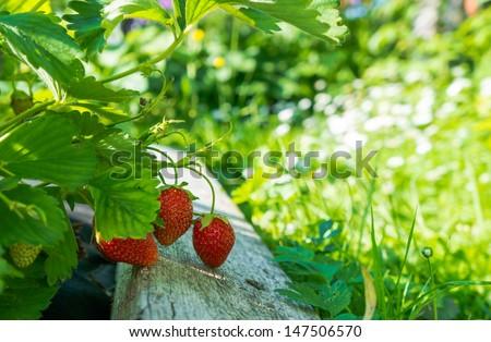 Strawberries on a bush  - stock photo