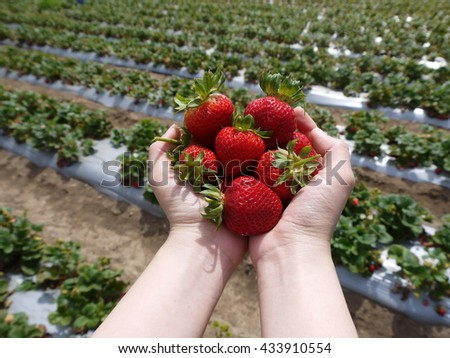 Strawberries on human hands in front of strawberry field - stock photo