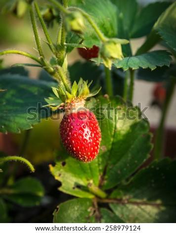 strawberries on summer bed in garden - stock photo