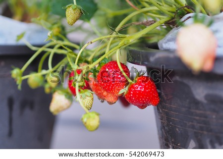 Strawberries plant in the pots