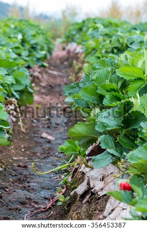 strawberries plants in farm, selective focus