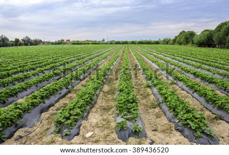Strawberries Ready For Harvesting - stock photo