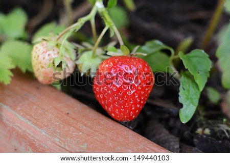 Strawberries ripening in a wooden planter