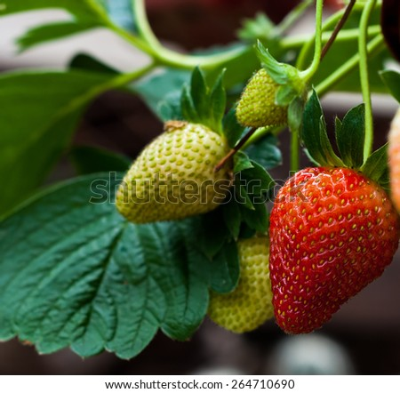 Strawberries  riping stage - Close up strawberries riping - stock photo