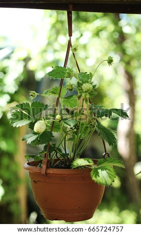 strawberriy plants
