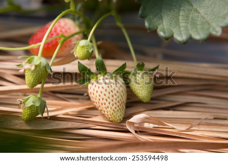 Strawberry bush growing in the fram - stock photo