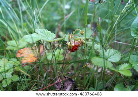 Strawberry bush with red and green berries and green leaves in the grass