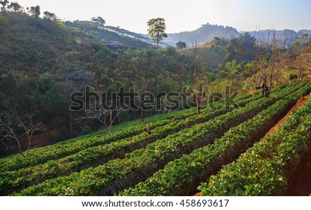 Strawberry farm green filed in north of Thailand