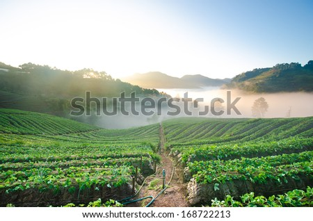 strawberry field Thailand in early morning sunshine in Winter with mist