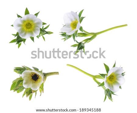 strawberry flower isolated on white background - stock photo