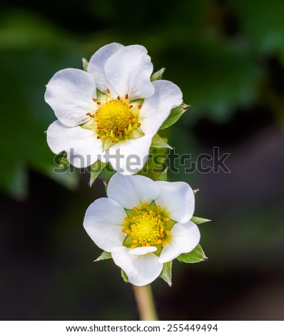 Strawberry flowers - stock photo