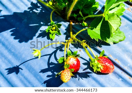 Strawberry fruit and Strawberry Farm in Thailand
