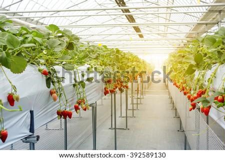 Strawberry fruit in nursery plantation at japan - filter sunshine - stock photo