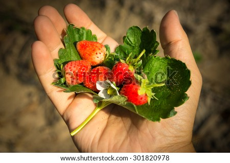 Strawberry fruit with flower and leaf in hand  - stock photo