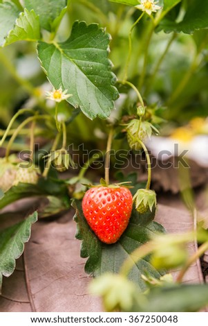 Strawberry fruits on the branch - stock photo