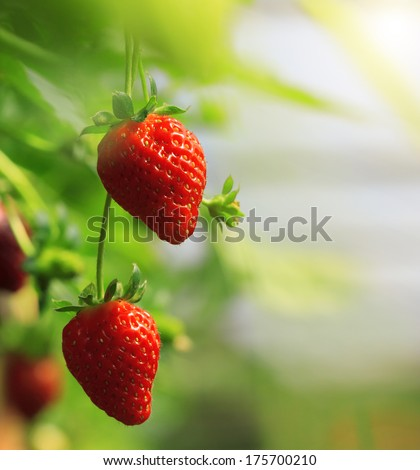 Strawberry fruits on the branch at the morning light - stock photo