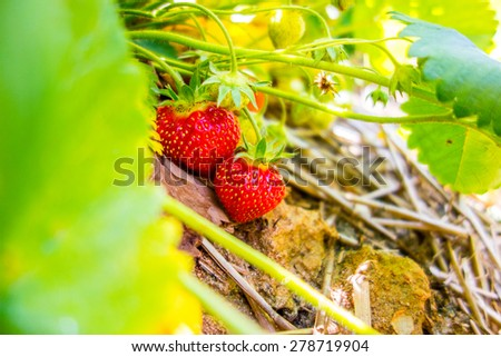 Strawberry fruits on the branch in the planting strawberry - stock photo
