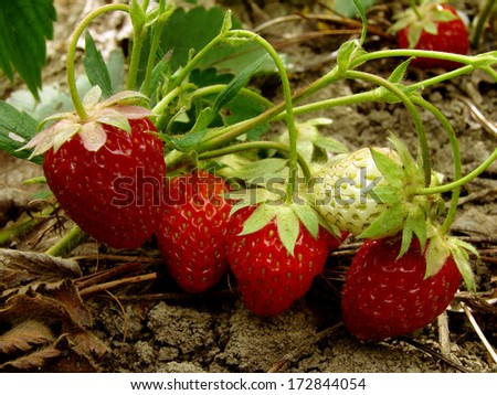 strawberry fruits ripening on the branch                                - stock photo