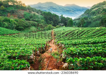Strawberry garden in morning at Doi Ang Khang , Chiang Mai, Thailand   - stock photo