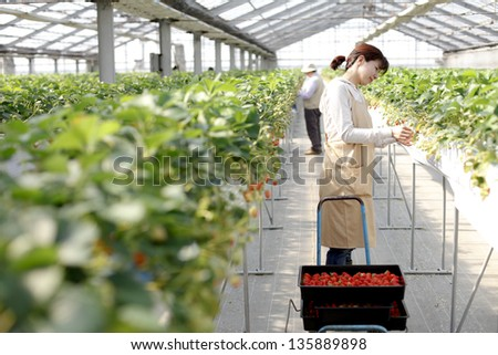 Strawberry growers of Japan - stock photo