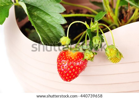 Strawberry growing in pot.  No room for an outdoor garden or the squirrels are eating all your  fruit.  Plant them in a pot on the patio and move them around or better yet hang them on your balcony. - stock photo