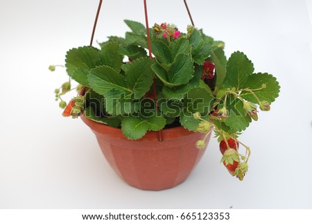strawberry in a pot on white background