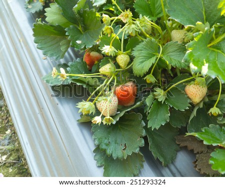 strawberry in an agriculture ,north of thailand - stock photo