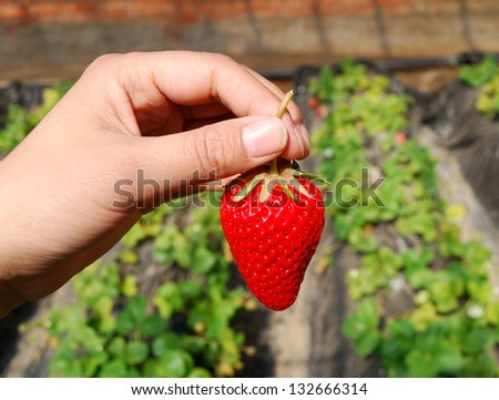 Strawberry in hand - stock photo