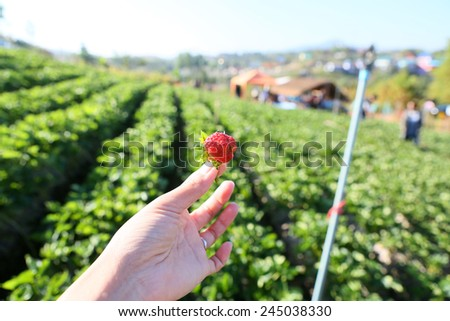 Strawberry in hand against farm background - stock photo