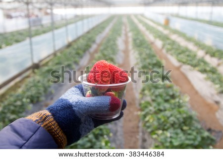 Strawberry in hand, Strawberry fields at South Korea - stock photo