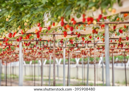 Strawberry in the farm - stock photo