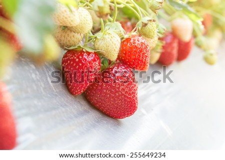 strawberry in the garden - stock photo