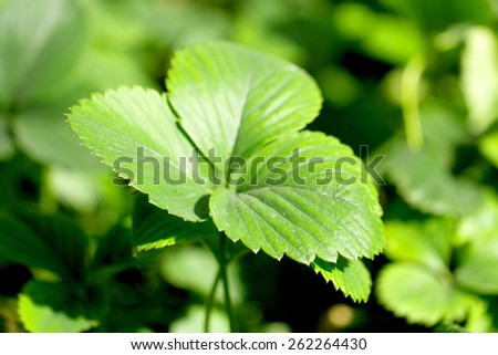 strawberry leaves background - stock photo