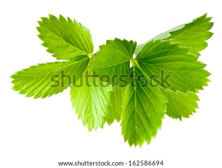 Strawberry leaves. Collection isolated on white - stock photo